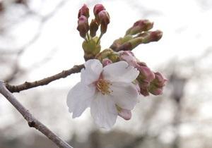 Балога и посол Японии высадят новые алеи сакур на Закарпатье