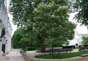 В Киево-Печерском заповеднике зацвело  небесное дерево
