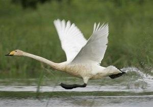 Новости Великобритании - странные новости: В Британии потерявшего подругу лебедя уличили в симпатии к вертолету