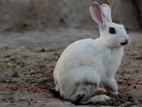 Американские ученые создали искусственный пенис кролика