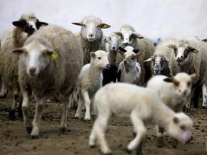На Буковине сгорело полсотни овец