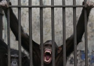 Шимпанзе умеют горевать по умершим родственникам