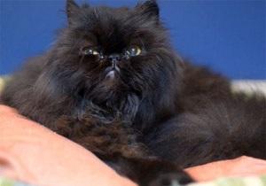 Кот на двух лапах: Британский кот-инвалид научился ходить на двух лапах