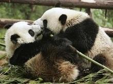 Китайское правительство подарит Японии двух панд