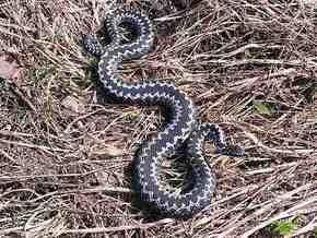 Саки переживают нашествие ядовитых змей