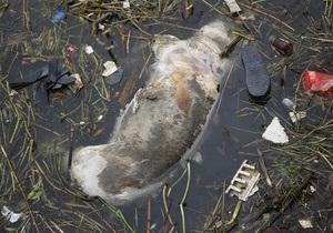 Мертвых свиных туш в реке Шанхая уже больше девяти тысяч