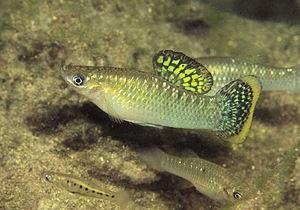 Гомосексуальность мелких тропических рыбок оказалась средством привлечения самок