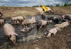 В Нидерландах фермер обустроил для своих свиней  грязепарк