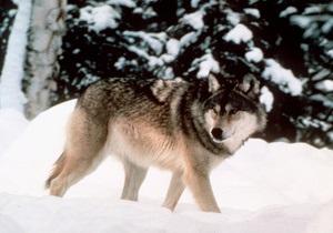 В Йеллоустоуне неизвестные убили знаменитую волчицу