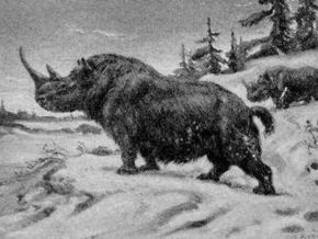Палеонтологи собрали череп волосатого носорога