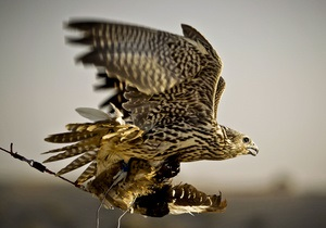 Золотая птица. В Кувейте продали сокола за рекордные $700 тысяч