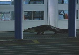 В США двухметровый аллигатор попытался забраться в торговый центр
