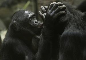 Обезьяны бонобо утешают друг друга как люди