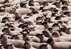 новости Одесской области - граница - овцы - пастух - пограничники - Украинско-молдавскую границу из-за уснувшего пастуха нелегально пересекли 150 овец