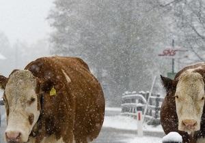 В США из-за снегопадов погибли порядка 100 тысяч коров
