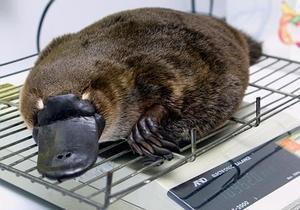 Новости Австралии - новости о животных: Утконос пережил путешествие в моторном отсеке автомобиля