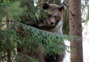 Новости россии - медведи: Медведь пытался попасть в закрытый военный город, прорыв подкоп под ограждением