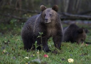 Новости России - странные новости - новости о животных: В России медведь похитил у дачников борщ