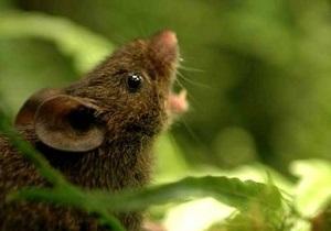Новости науки: Хомяки прибегают к пению, чтобы защитить свою территорию