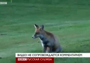 Швейцарская лиса терроризирует игроков в гольф - видео