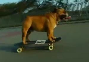 Бульдог Бюф гоняет на скейтборде - видео