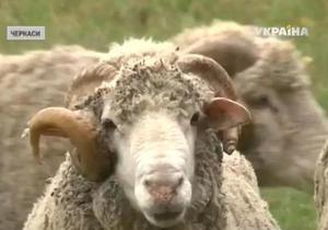 В Черкассах овцы помогают диагностировать сифилис