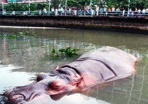 Новости Китая - странные новости - новости о животных: В Китае из зоопарка сбежал бегемот