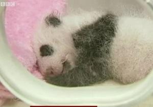 В Китае показали 14 детенышей панды - видео