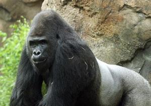 Новости США - странные новости - новости о животных: Зоопарк отправил гориллу-сексиста на реабилитацию