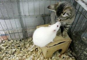 Миші перестають боятися кішок через токсоплазмоз