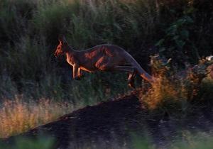 Новости Чехии - новости о животных - странные новости: В Чехии кенгуру-беглец ограбил магазин
