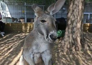Новости Австралии - странные новости - новости о животных: Кенгуру ворвался в дом австралийца и устроил погром