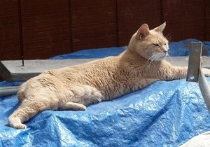 Новости США - новости о животных - странные новости: В США выписали из больницы кота-мэра, на которого напал пес