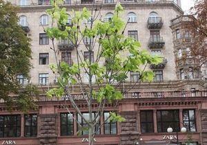 новости Киева - каштаны - В центре Киева вновь зацвели каштаны