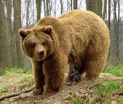 новости Ивано-Франковской области - нападение медведя - медведь - В Ивано-Франковской области во время сбора грибов на мужчину напал медведь