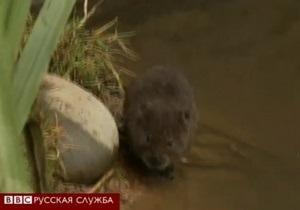 Британские водяные крысы в опасности
