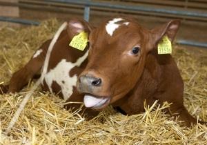 Новости науки - клонированный теленок: Эстонские ученые клонировали теленка