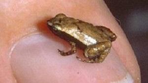 Крошечная сейшельская лягушка слушает ртом