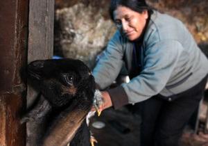 В Перу и Боливии из-за холодов погибли порядка 30-ти тысяч домашних животных