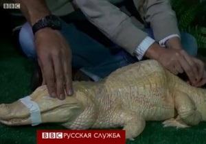 Горбатого аллигатора лечат иглоукалыванием - видео