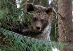 Новости Украины - Ивано-Франковск - новости о животных: В Карпатах медведица загнала на дерево местного жителя