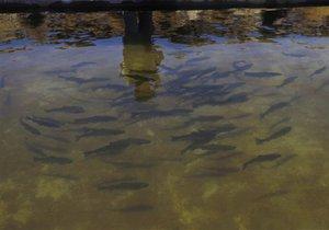 Новини Росії - норвезька риба - обмеження на ввезення продуктів до Росії: Росія обмежить постачання норвезької форелі