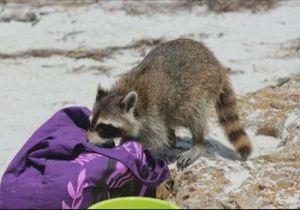 Новини США - новини про тварин: Єнот вкрав в американки сумку-клатч