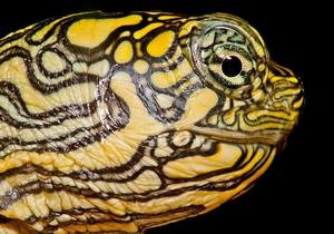Facebook - новини США - черепаха - У двоголової черепашки, яка народилася у США, з явився акаунт у Facebook