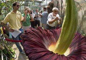 Найбільша квітка в світі - Аморфофаллус титанічний