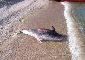 Біля берегів Маріуполя загинув рідкісний дельфін