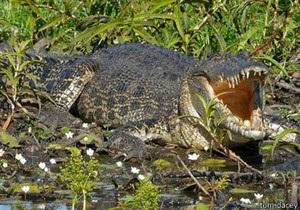 ВВС: В Австралії надзвичайно зросла популяція крокодилів
