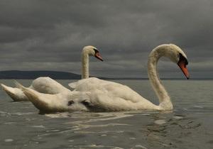 У Рівному на міське озеро запустять кілька лебедів