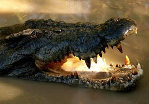 Новини США - крокодил - На американця, котрий тікав від поліції, напав алігатор