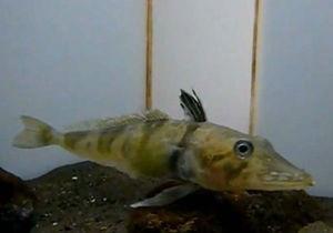 В Японії виявили рибу із прозорою кров ю